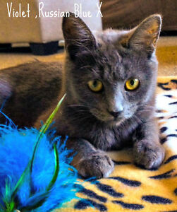 Meet VIOLET...Russian Blue Mix Kitten...Adorable,Adoptable London Ontario image 10