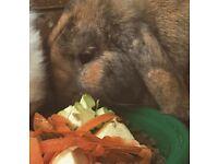 Neutered Female Rabbit