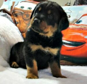 Looking for baby Rottweiler for $600