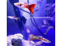 STUNNING Tropical Fish Guppy Molly Platy Betta Corydoras HOME DELIVERY