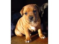 Stunning Staffordshire Bull Terrier Puppies