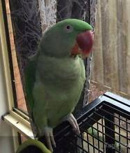 Charlie - green Alexandrine parakeet / parrot bird Corio Geelong City Preview