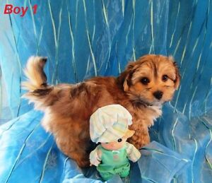 Absolutely Adorable Morkie Puppies
