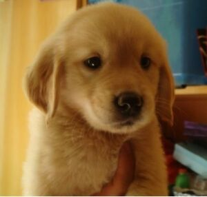 Wanted: I want to buy a golden retriever or border collie puppy Hobart City Preview
