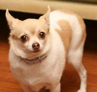 "Adult Female Dog - Chihuahua: ""Pumpkon"""