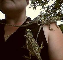 Juvenile Bearded Dragons Wonga Cairns Surrounds Preview