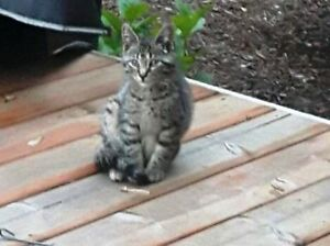 KLAWS: FOUND Cowan's Bay, Omemee young tabby kitty