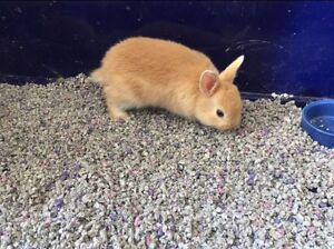 Pedigreed Netherland Dwarf Bunnies