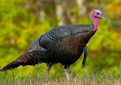 6 Eastern Wild Turkeys Hatching Eggs. RESERVE YOURS TODAY. ships N Foam