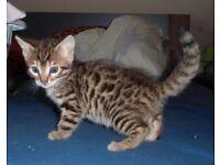 Bengal Kitten - FREE TO GOOD HOME