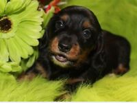 CKC reg Mini dachshund puppies taking deposits to hold