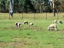 sheep/lambs for sale Cobbitty Camden Area Preview