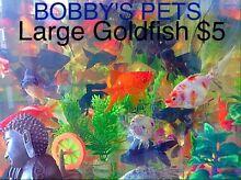 Large Goldfish Cabramatta West Fairfield Area Preview