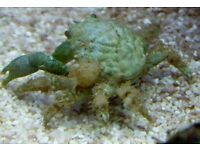MARINE FISH / EMERALD CRAB