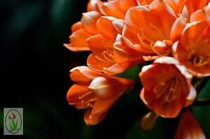 CLIVIA (ORANGE & YELLOW) – ON SALE Jandabup Wanneroo Area Preview