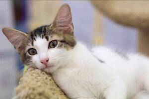 Adopt Olive 4mth DSH North Ward Townsville City Preview