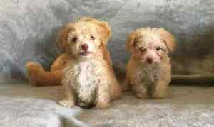 Adorable toy poodle puppies