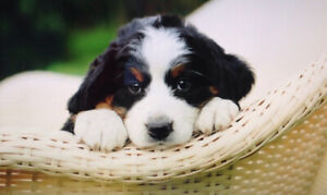 Pure Bred Bernese Mountain Dog