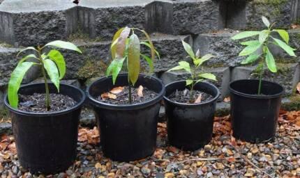 Mango & Avocado Plants $8ea