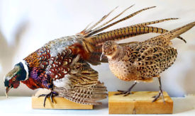 Taxidermy Pair of Ring necked pheasant cock and hen