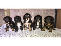 Beautiful Jack Russell x toy poodle Jackapoo puppies