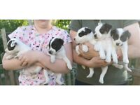 Beautiful Jack Russell Puppies