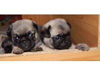 beautiful 3/4 pug/poodle pug-a-poo hybrids