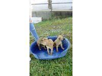 Bull collie greyhound cross pups