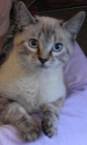 Perfectly Marked Lynx Point Siamese/Ragdoll cross-Intact