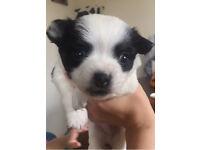 Special Chihuahua boy