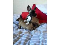 Outstanding well bred French bulldog puppies