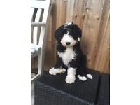 old english sheepdog x bearded collie puppies