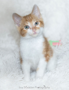 Simon rescue KITTEN to adopt VET WORK INC Connolly Joondalup Area Preview