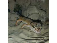 LEOPARD GECKO LOOKING FOR A FOREVER HOME! COMPLETE WITH SET UP.