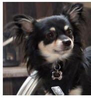 Long Haired Chihuahua - 4 year old boy