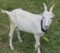 TAME VERY FRIENDLY 5 MONTH OLD LAMANCHA GOATS /TRADES WELCOME