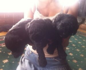 Bichon Shih Tzu Puppies - reserve yours now!