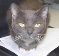 """Adult Female Cat - Domestic Short Hair - gray and white: """"Shia"""""""