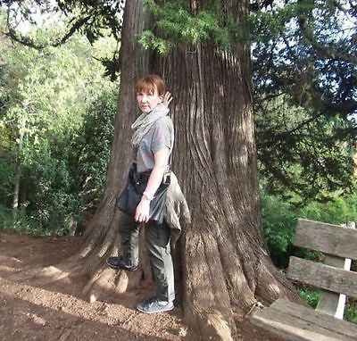 Bergmammut Baum Nadelgehölze große Pflanzen für den Garten winterhart immergrün