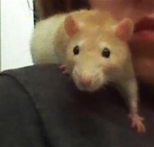 "Adult Female Small & Furry - Rat: ""Dottie With Chloe"""