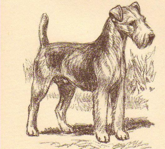 Lakeland Terrier - Vintage Dog Print - 1954 Megargee