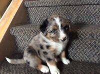 Mixed Aussie Pups. 4 boys and 1 girl still available.
