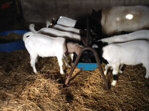 Boer bucklings for sale
