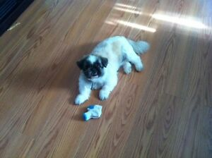 LOOKING FOR A GOOD HOME FOR 2 SM. PEKINGESE, PERFER SENIOR