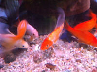 Mixed Goldfish/KOI-3+ years old,6-8 Inches for sale.