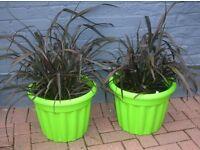 Two lg 2-3ft evergreen Platts BLACK PHORMIUM plants in patio pots. KENT