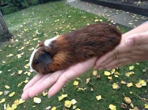 Three male guinea pigs with large cage