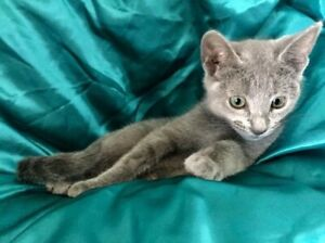 Russian Blue Kittens Desexed Papers 2 Boys Ready This weekend