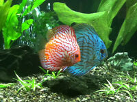 Pair of discus fish