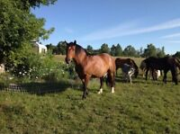 CLYDESDALE / QUARTER HORSE CROSS MARE -REDUCED